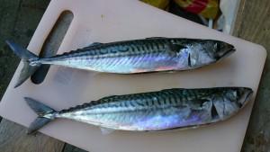 Flotte makreller fra Issefjorden.